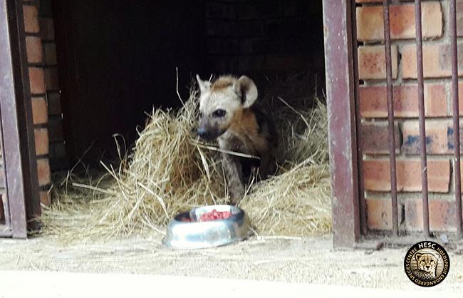 Baby hyena at HESC