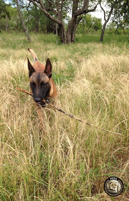 Bullet, anti-poaching Malinois at HESC