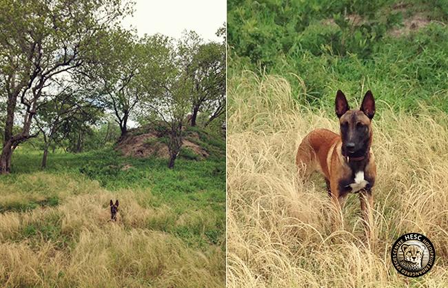 Bullet, anti-poaching puppy at HESC