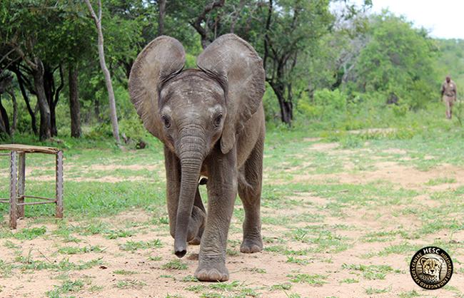 Baby elephant, Shawu at HESC