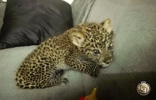 Leopard cub at HESC