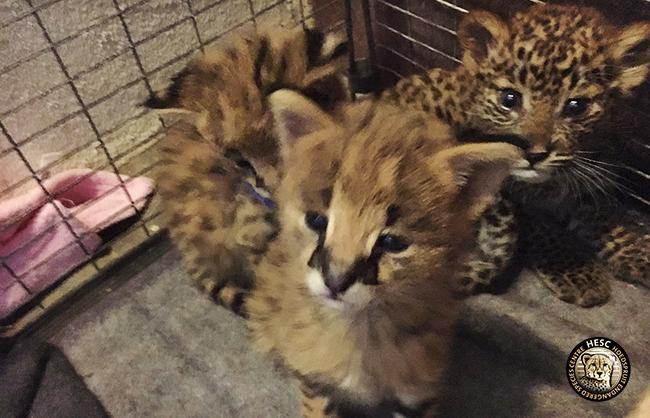 Leopard cub & servals