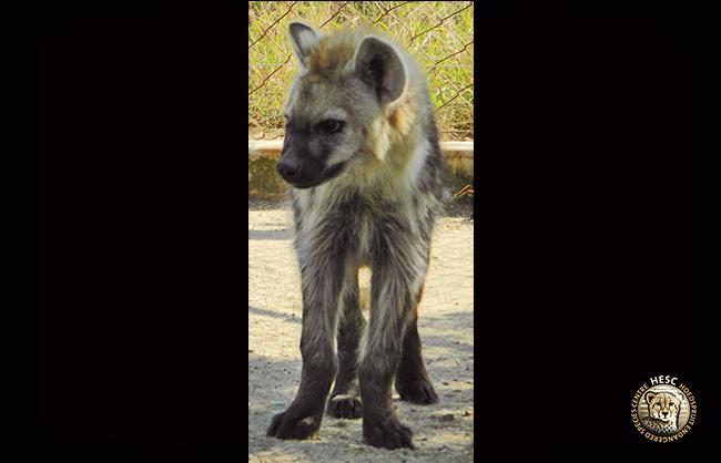 Hyena-3