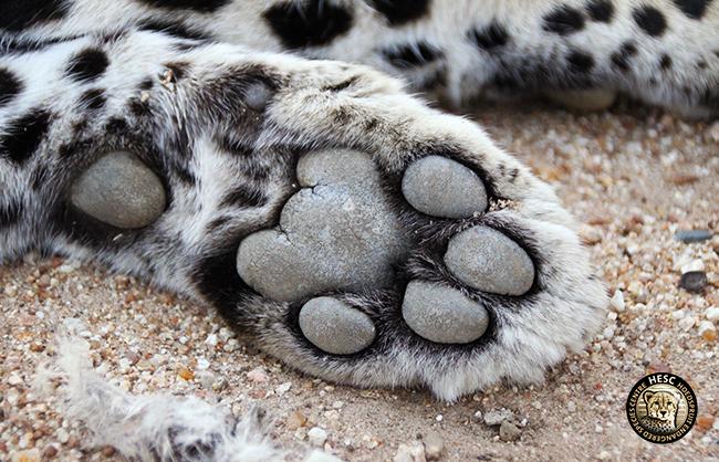 HESC-Leopard-DNA-1-June-17-102