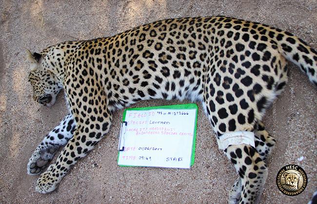 HESC-Leopard-DNA-1-June-17-124