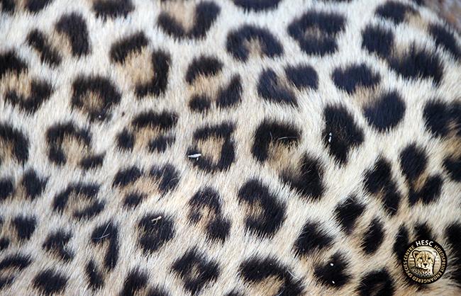 HESC-Leopard-DNA-1-June-17-87