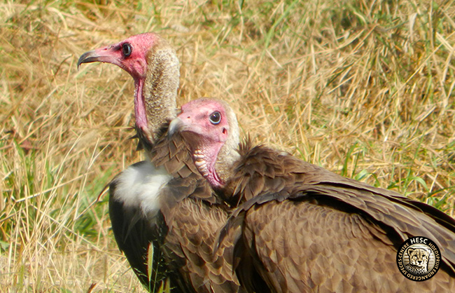 HESC_-Vultures-.1