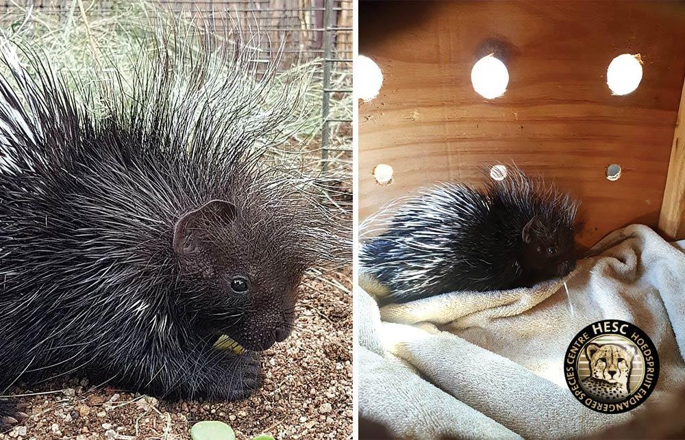 Porcupine-Elvis