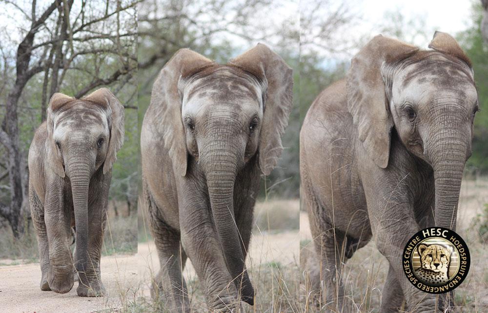 Did You Know Elephant Ears Hesc