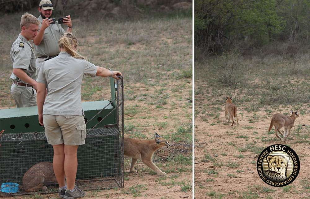Caracal-Release