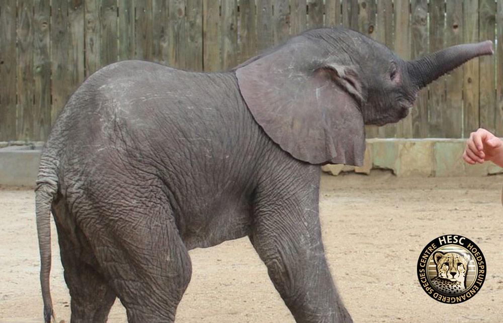 Mopane-the-elephant