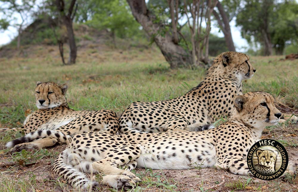 Cheetah-Coalition
