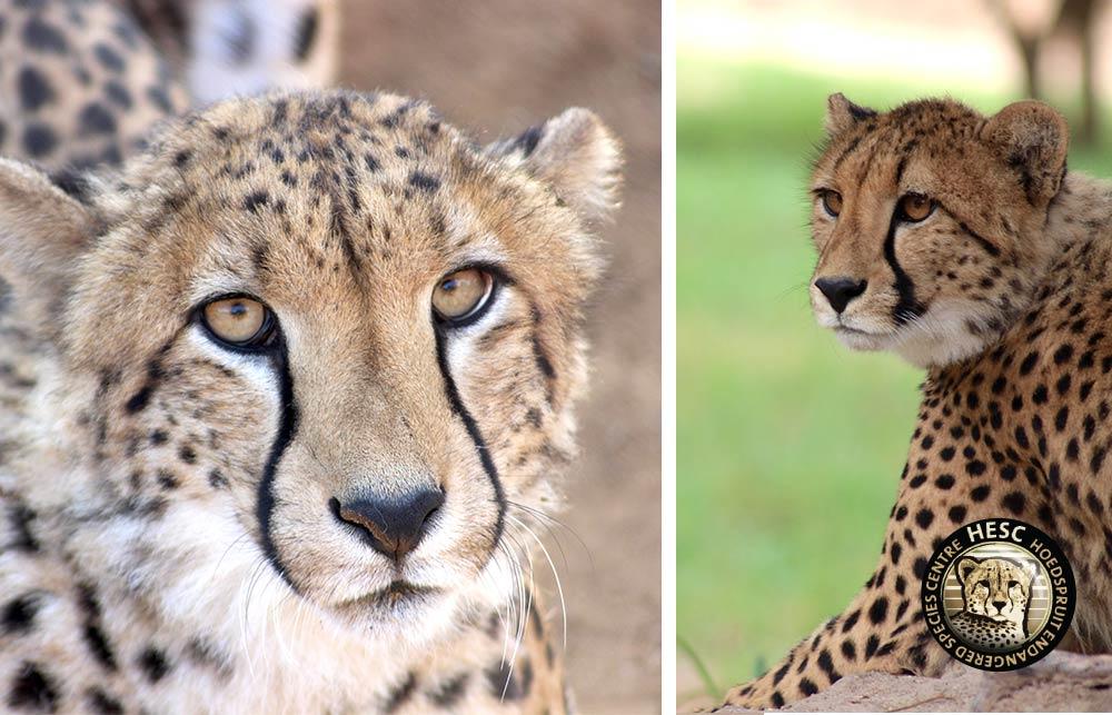 Cheetah-Comp