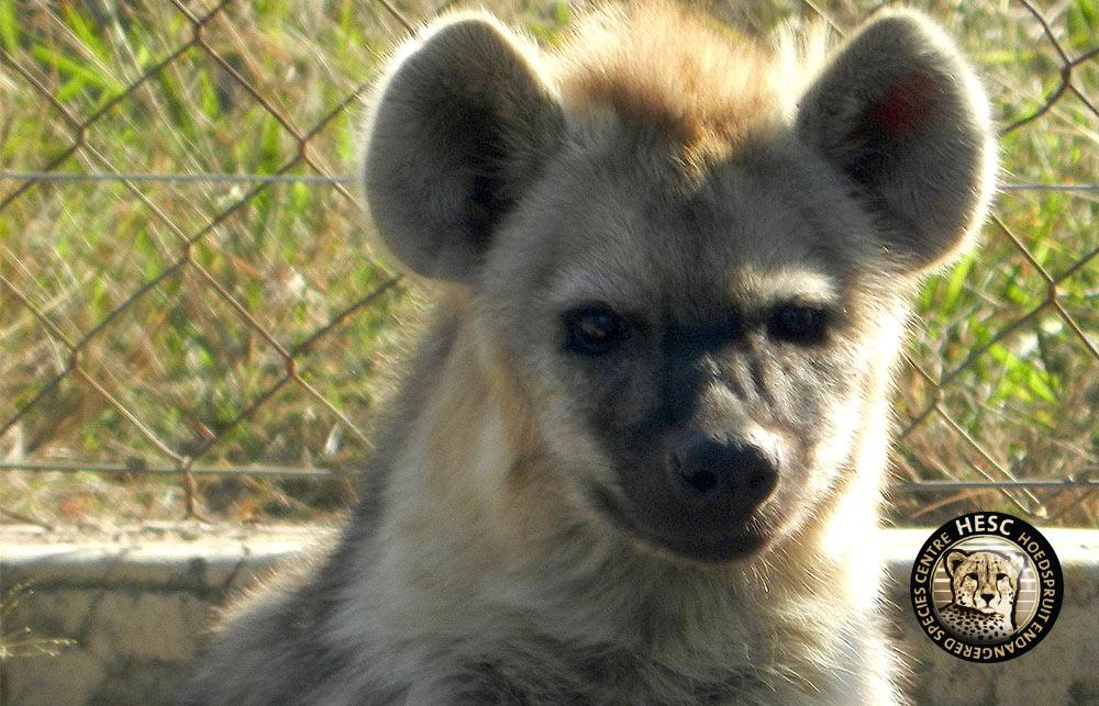 HESC_-Hyena-Profile-