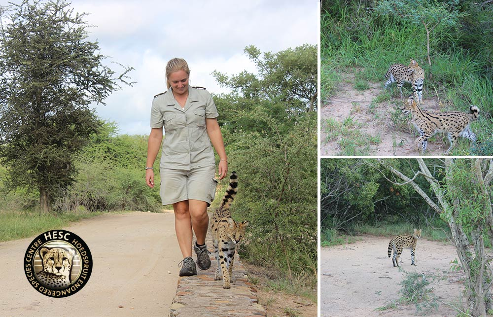 Serval-Release-to-the-wild