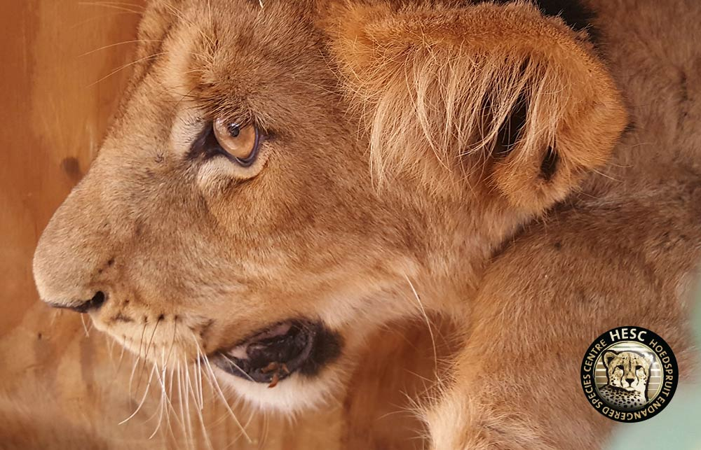 Simba-the-lion-cub-Rescue