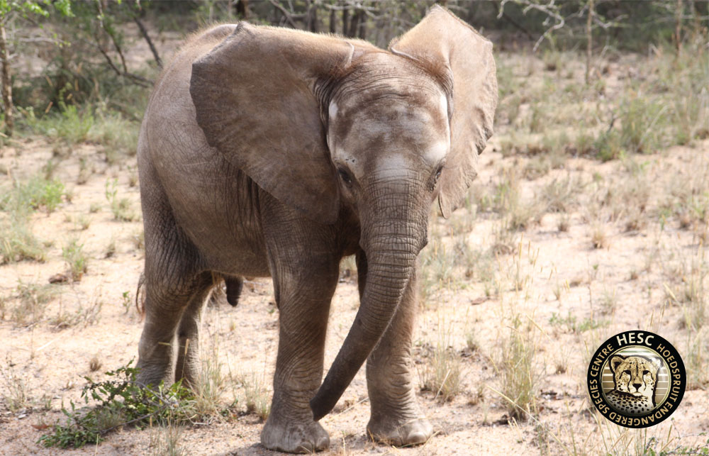 Shawu the little elephant