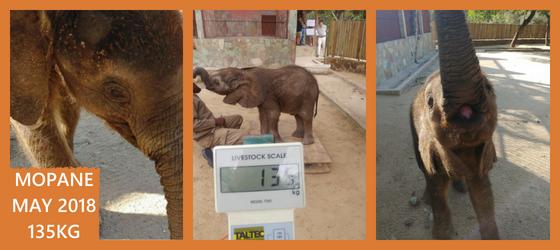 Mopane Weighs in at 135KG