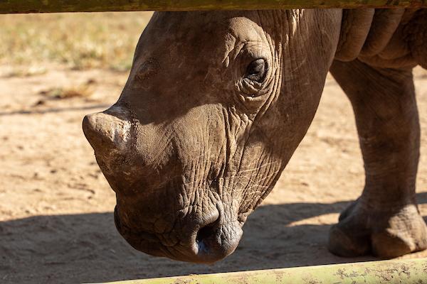 Esme grows into a strong young rhino