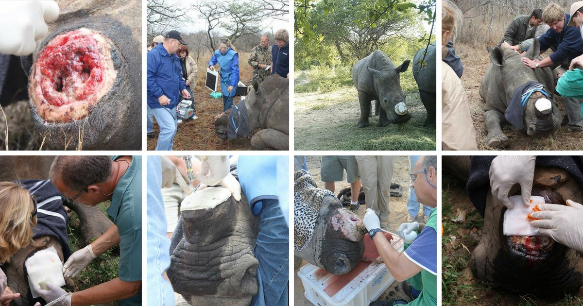 Treatment of Rescued Rhino's , Lions Den and Dingle Dell, at HESC