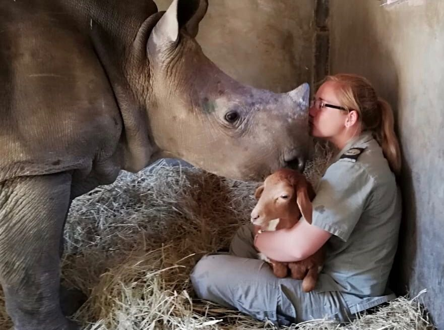 Esme, a rescued rhino at HESC, meets Mille the Lamb