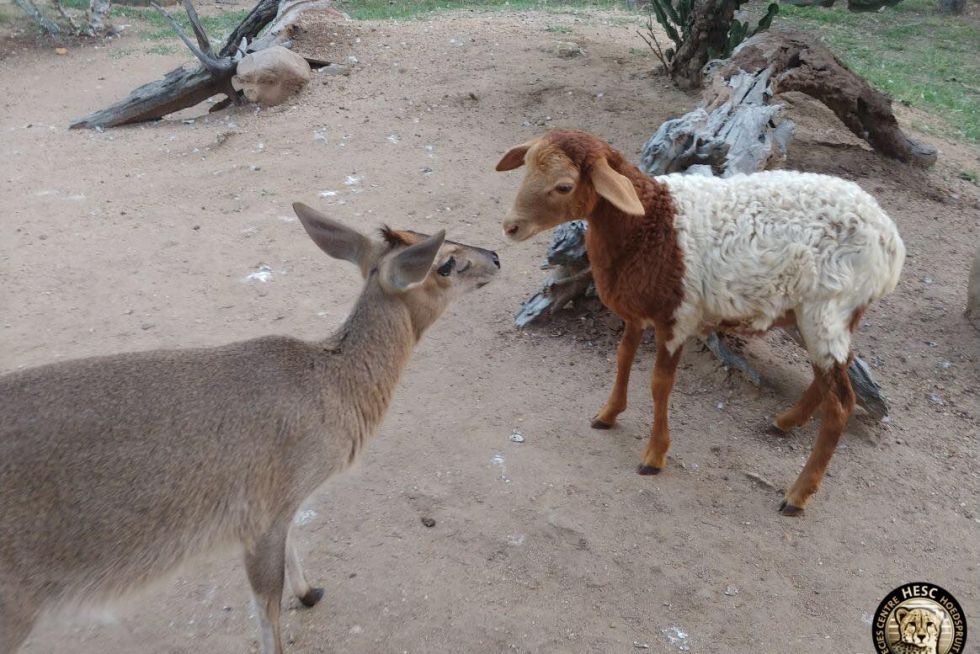 Millie the lame meets Bokkie Bok the Duiker