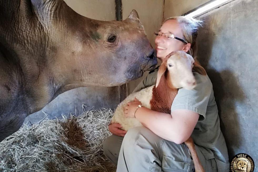Esme the rhino approaches Millie the Pedi Lamb
