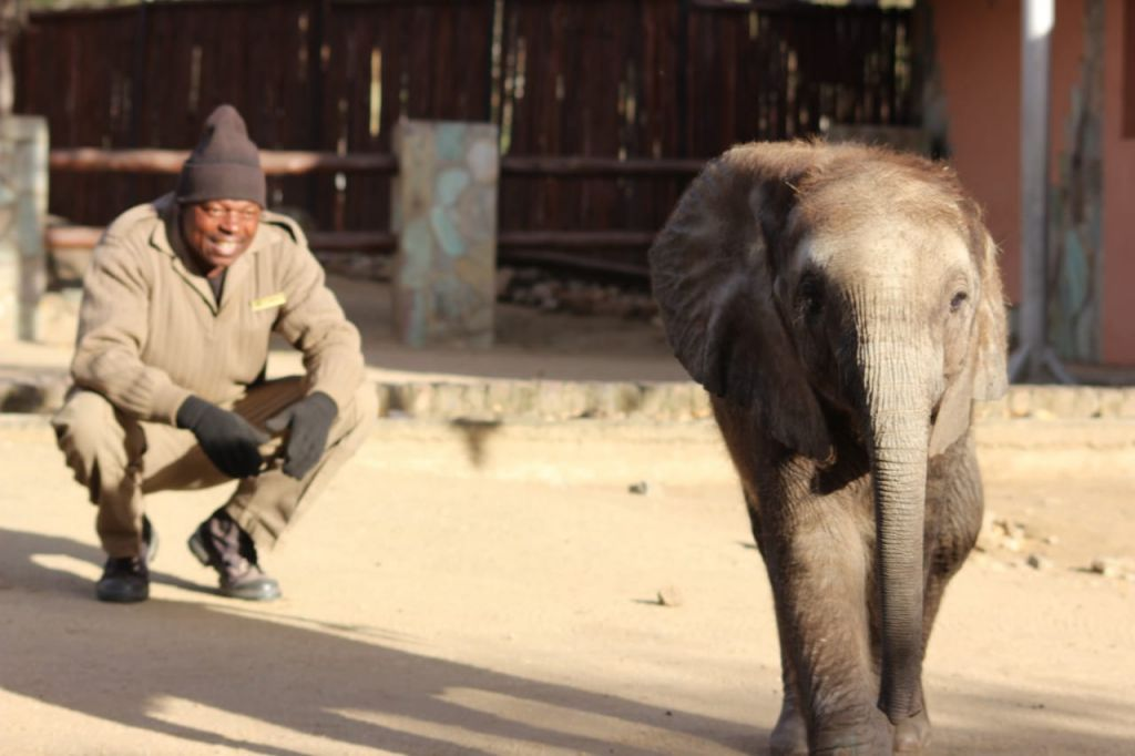 Orphaned elephant Mopane, with his carer, Joshua