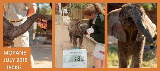 Orphaned elephant Mopane weighs 180KG