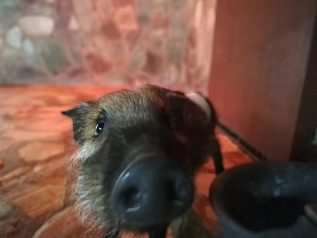 Bush pig photo