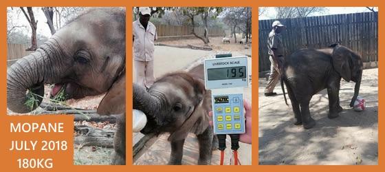Mopane August Weigh in, 195KG