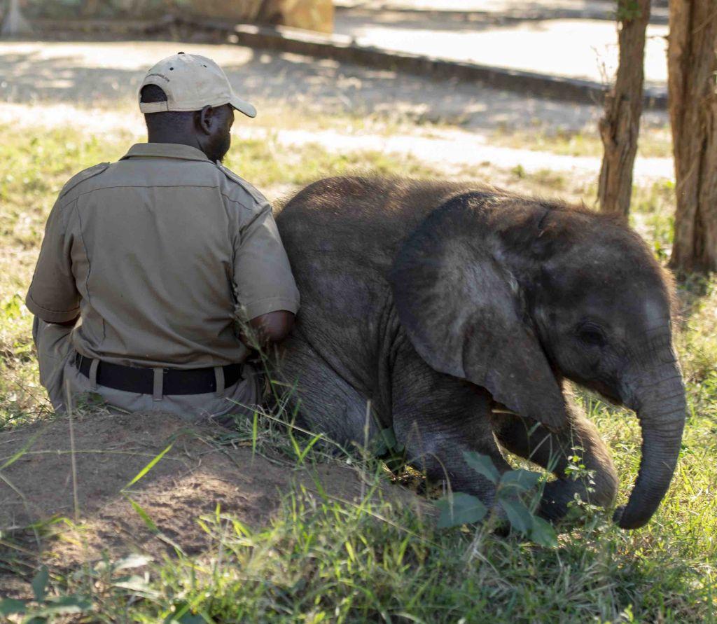 Elephant carer Israel with orphaned elephant Mopane