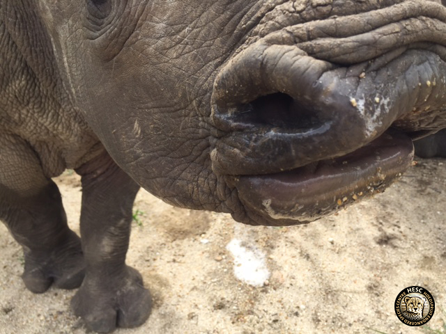 Rhino_lips_Balu_HESC