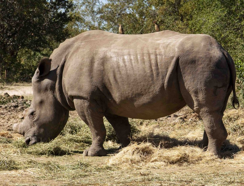 Dingle-Dell-Rhino-HESC