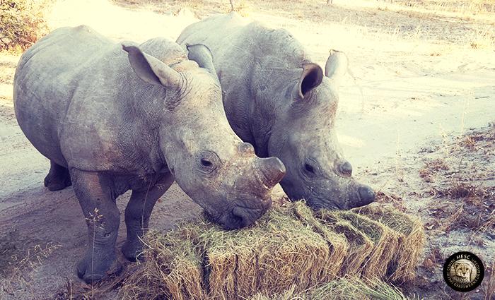 Gertjie_and_Matimba_rhinos_HESC