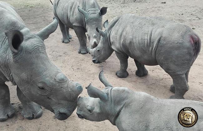 Stompie_Gertjie_Balu_Matimba_Rhinos_HESC