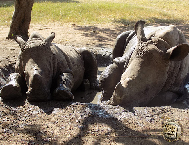 Gertjie_Matimba_Rhinos_mudbath_HESC