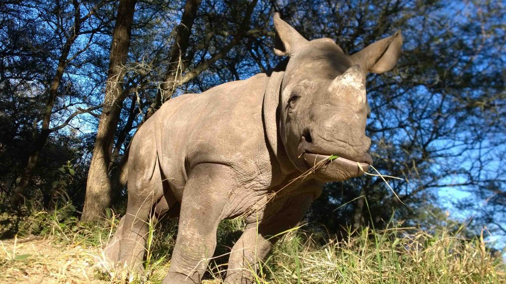 Gertjie-Orphaned-Rhino-HESC - Rehabilitation - Southafrica