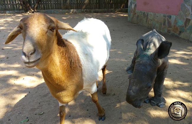 Lammie_Sheep_BabyN_Rhino