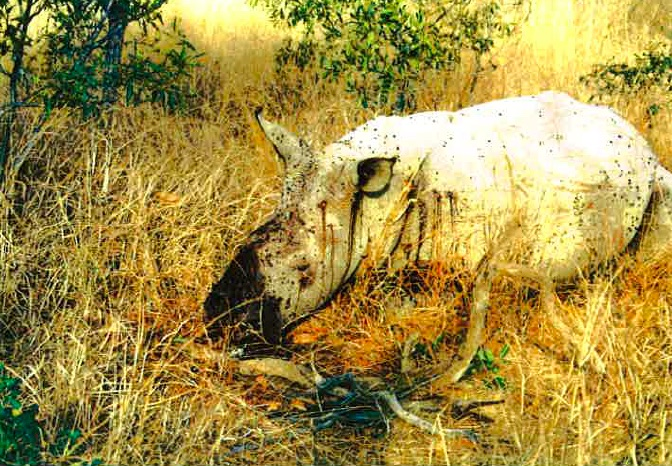 Llahliwe_Dead_Rhino