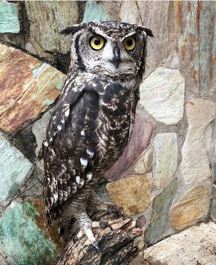 Merlin-Owl- HESC -Animalhospital