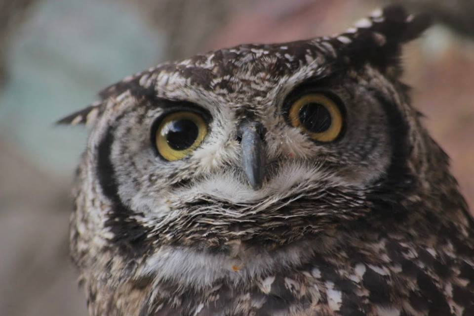 Merlin-Owl-HESC-Closeup