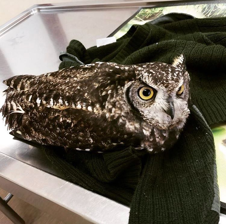 Merlin-Owl-Brokenwing-HESC