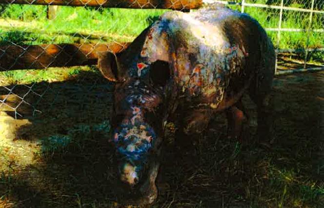 Ronnie_Rhino_Skin_Condition_HESC
