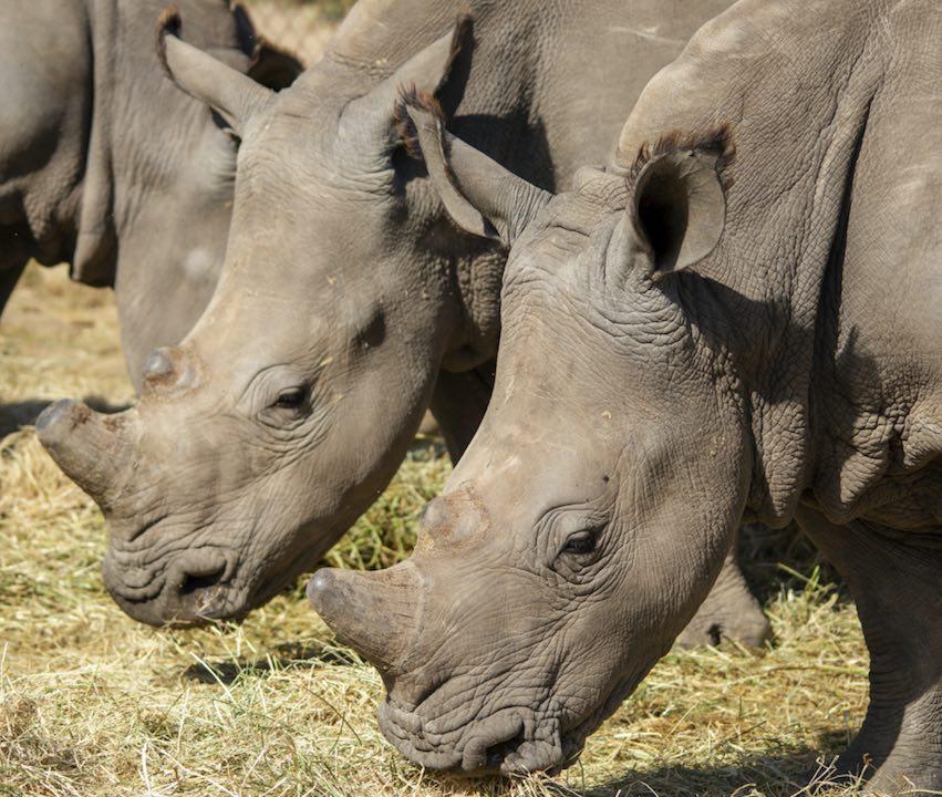 Stompie_khulula_rhinos_HESC