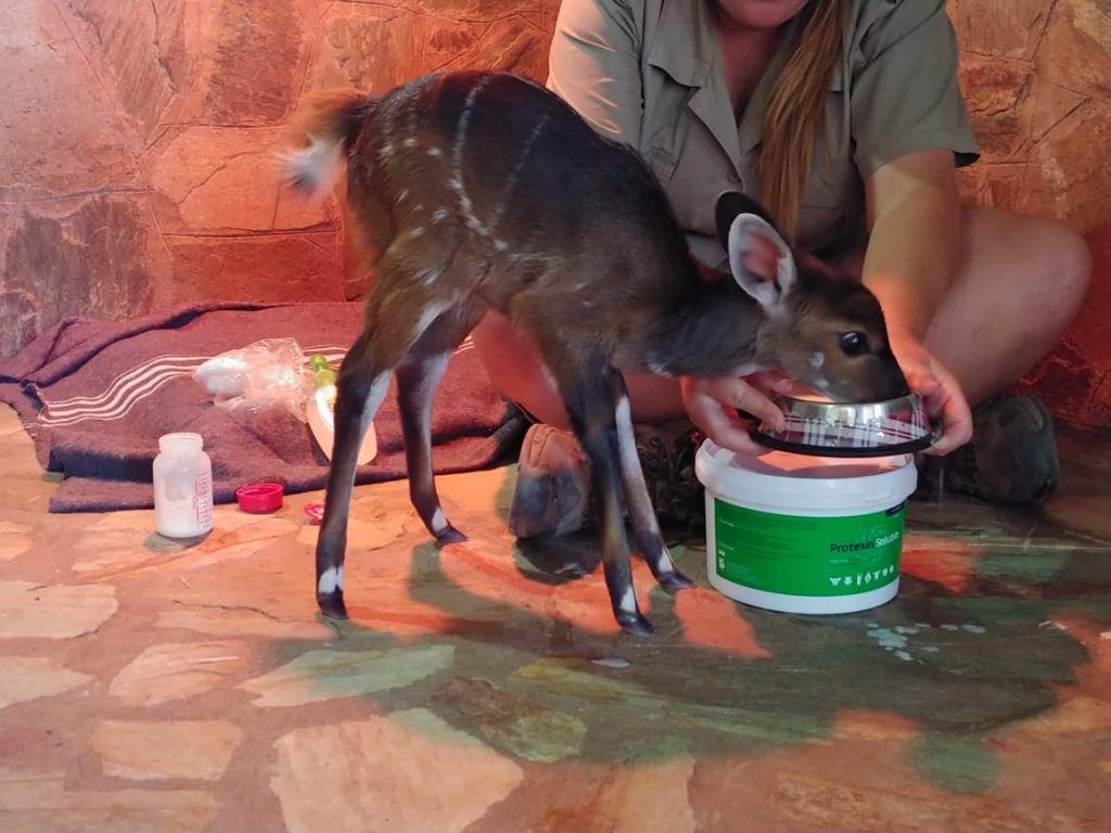 Baby_bushbuck_drinking_milk