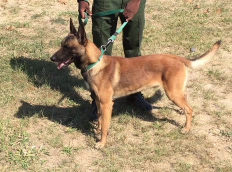 Bullet_belgian_malinois_HESC_anti-poaching