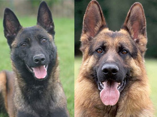Belgian_Malinois_vs_german_shepherd