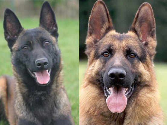 Belgian_Malinois_vs_german_shepherd