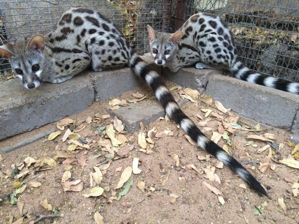 Genet_Cats
